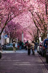Kirschblüte in Bonn / Heerstr. #2