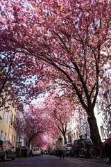 Kirschblüte in Bonn / Heerstr. #3
