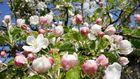 Kirschblüte in Gelderfingen
