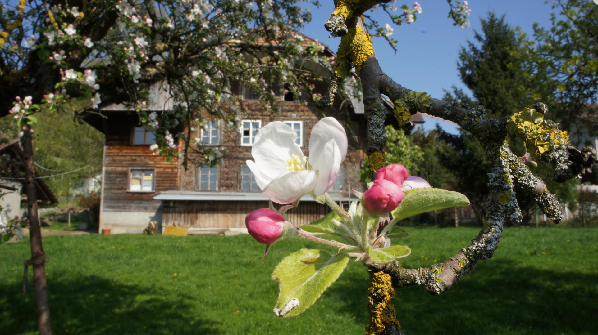 Kirschblüte in Gelderfingen II