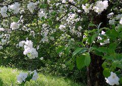 Kirschblüte in Karlsruhe