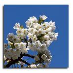 Kirschblüte in Metzingen