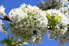 Kirschblüte in Ockstadt