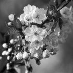 Kirschblüte in Rheinhessen