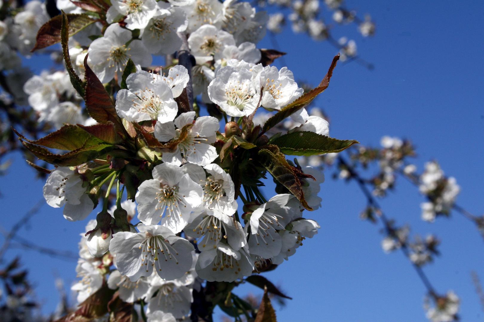 kirschblüte in wackernheim