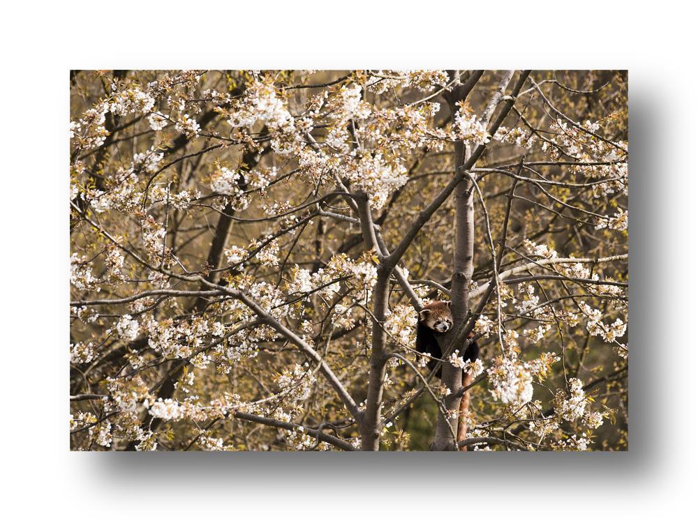 Kirschblüte mit kleinem Panda