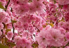 Kirschblüte (Prunus sargentii)