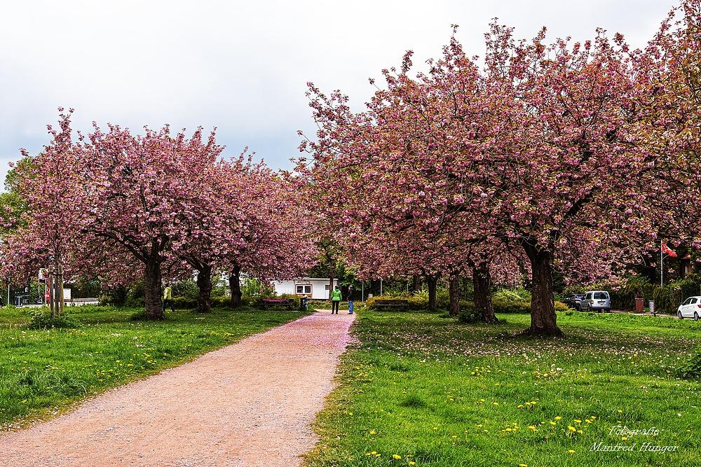 Kirschblüten 2021 / 16.05.2021 / 01