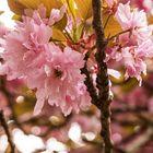 Kirschblüten 2021 / 16.05.2021 / 02