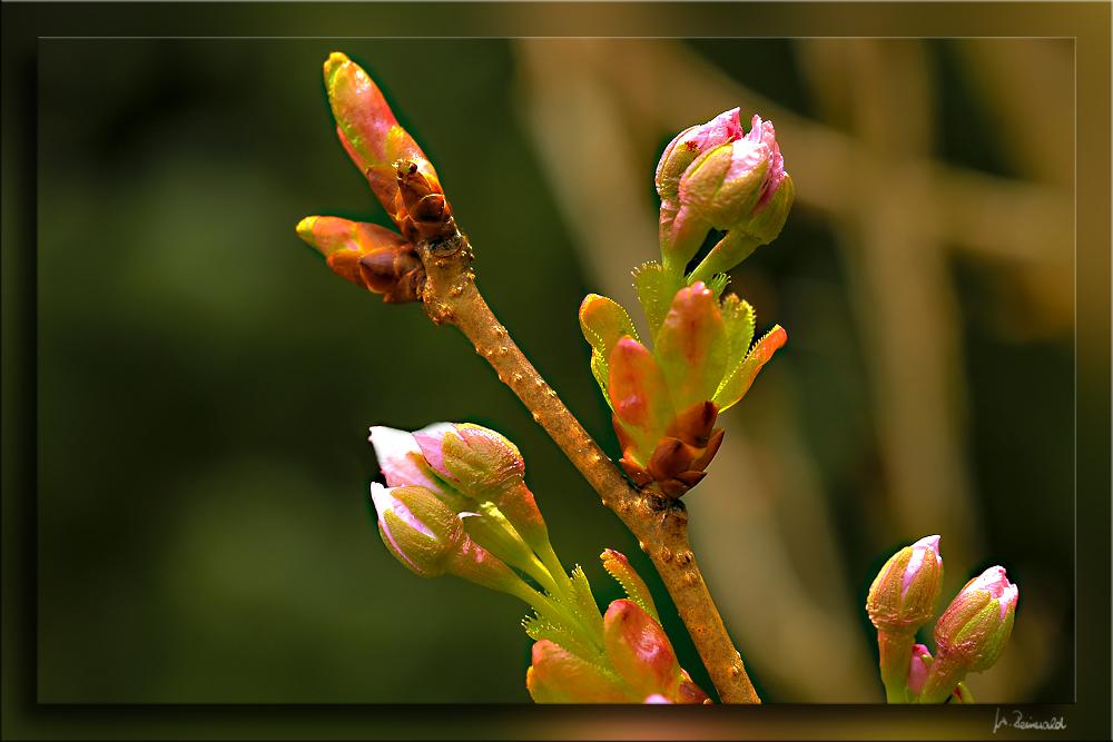 Kirschblüten .....