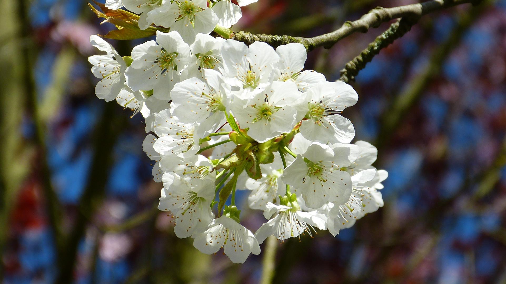 Kirschblüten 5