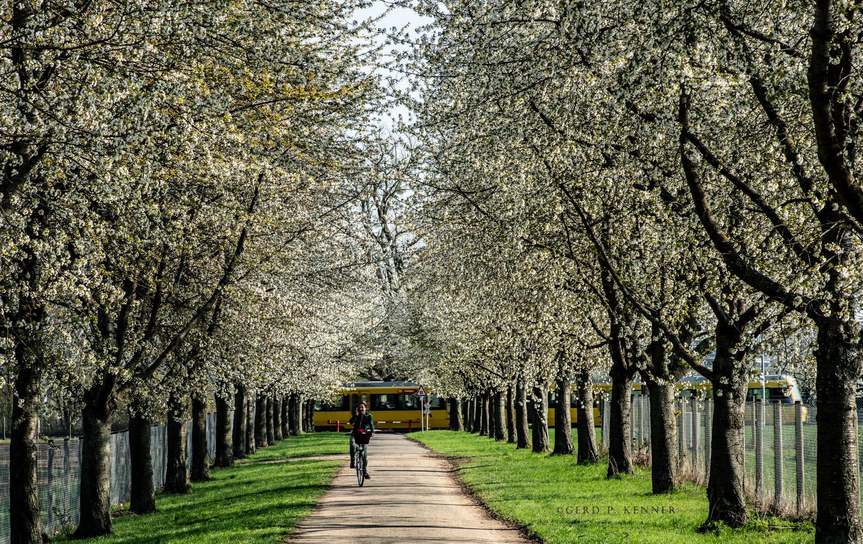 Kirschblüten Allee