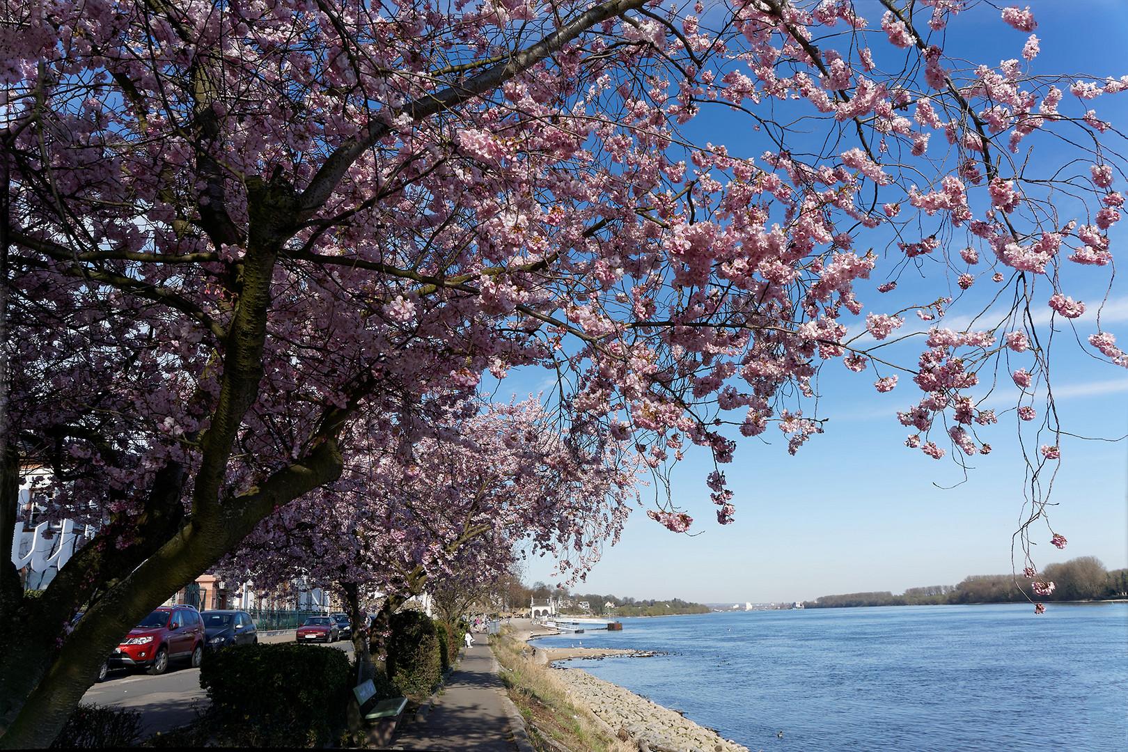 Kirschblüten am Eltviller Rheinufer (2)