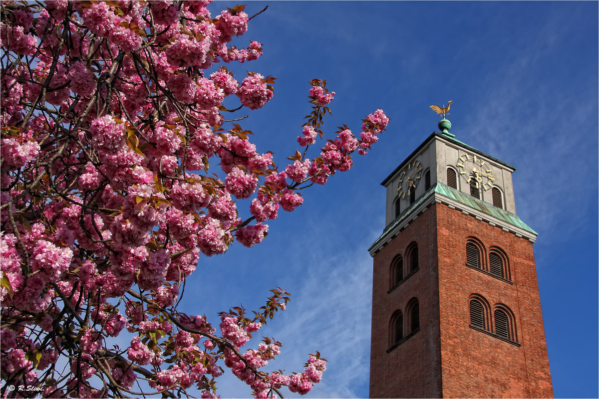 Kirschblüten am Kirchturm