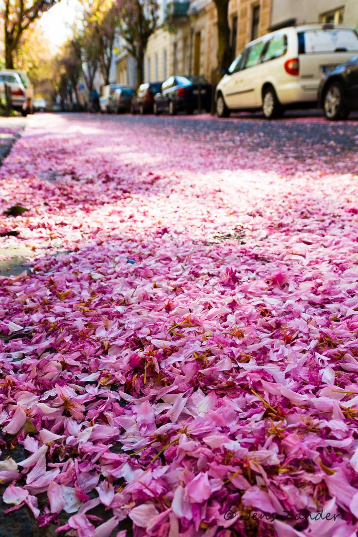 Kirschblüten ... bald wieder vorbei ;-)
