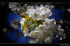 ~ Kirschblüten ~