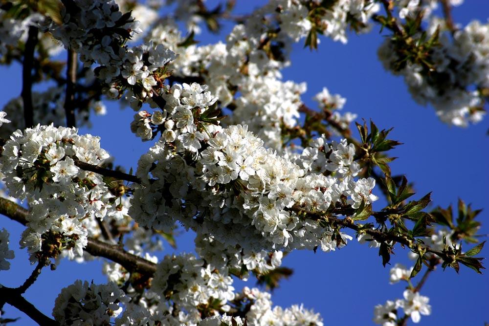 Kirschblüten ......