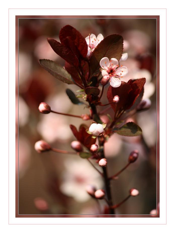 Kirschblüten - Ein Traum
