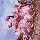 Kirschblüten Frühling 2019