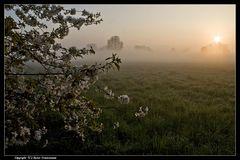 Kirschblüten im Morgennebel - Cherry blossoms in the morning dew