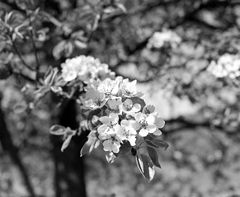 Kirschblüten im Neidlinger Tal