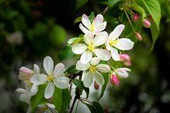 Kirschblüten im Park