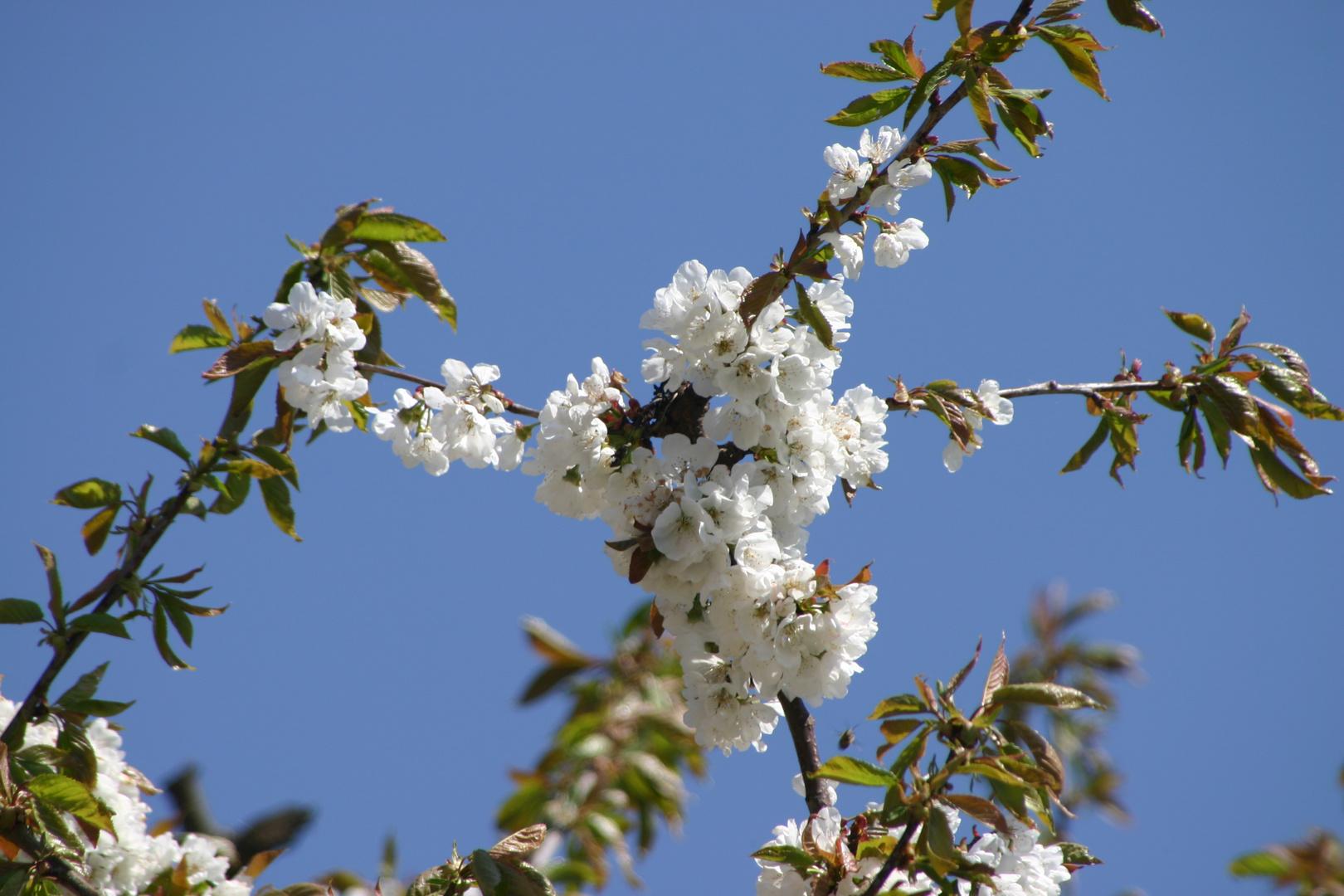 Kirschblüten im strahlend blauen Himmel