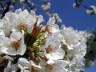 Kirschblüten in Action