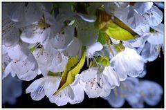 kirschblüten in der nacht