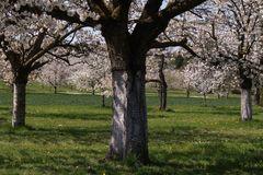 Kirschblüten in Kalchreuth  -2-