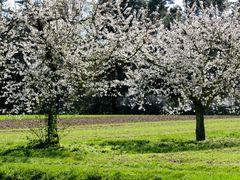 Kirschblüten in Kalchreuth (Mittelfranken)