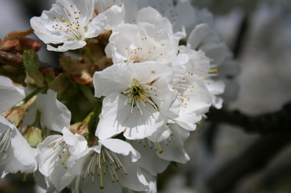 Kirschblüten in voller Pracht
