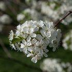 Kirschblüten lassen sich auch durch Corona nicht stören