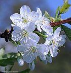 --- Kirschblüten ---    ( Makro )