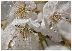 kirschblüten mal anders