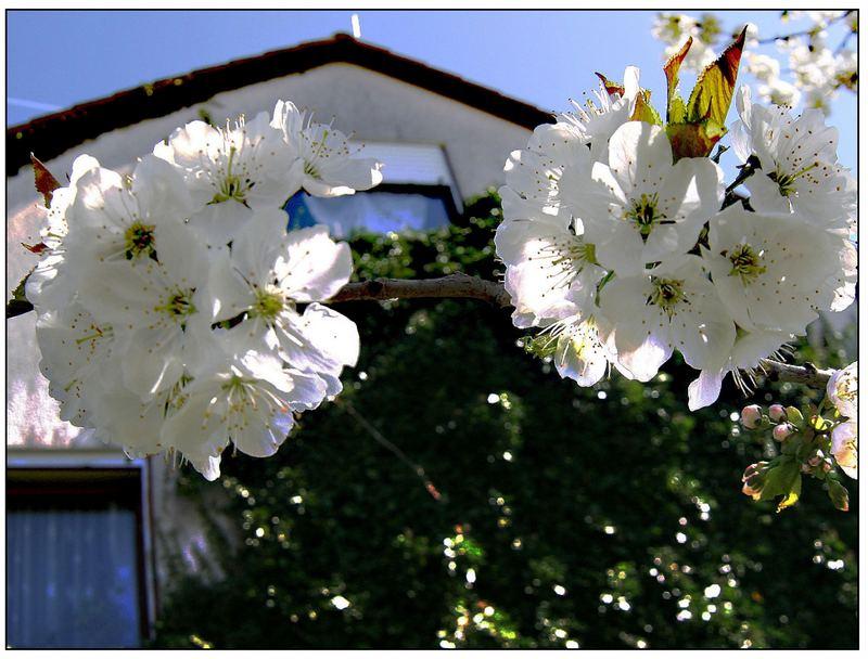 Kirschblüten - Schneebälle