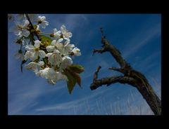 """Kirschblüten... und toter Kirschbaum- Stamm...  - AUSSTELLUNGS-FOTO """"WERDEN UND VERGEHEN"""""""