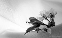 Kirschblüten V