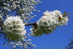 Kirschblüten vor azurblauem Himmel