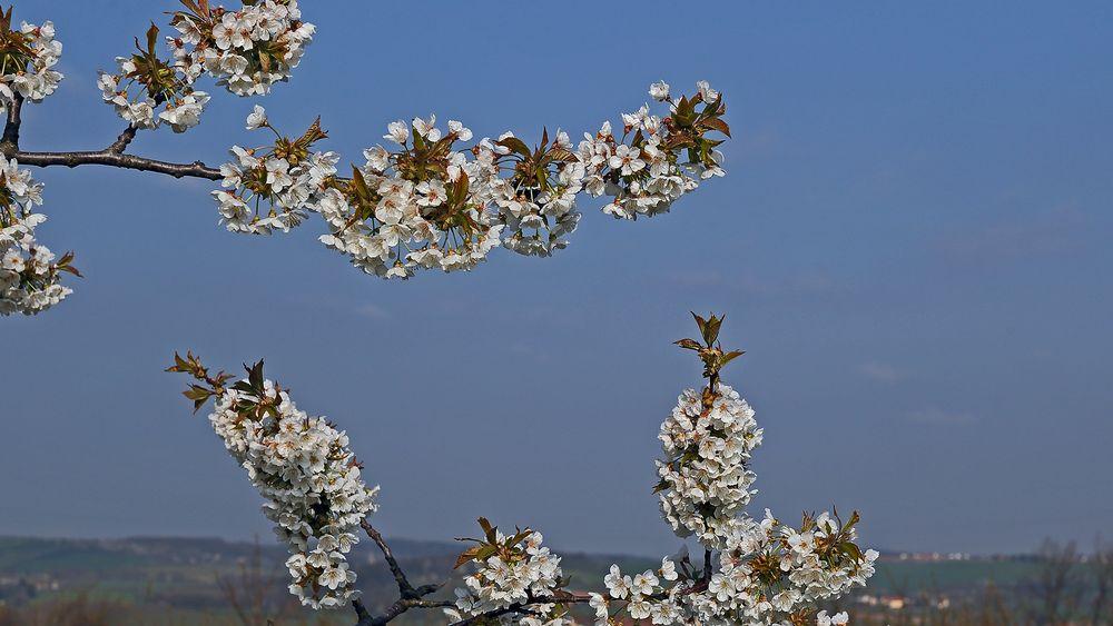 Kirschblüten wiegen sich im Wind und in der Sonne...
