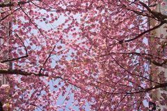 Kirschblütenbaldachin