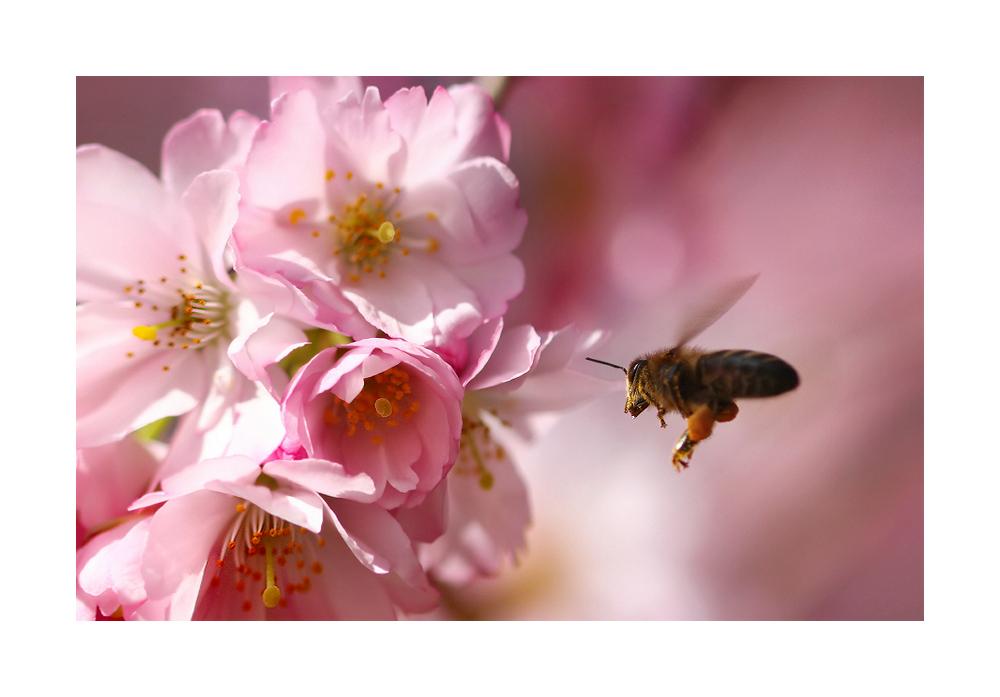 KirschblütenBrummer
