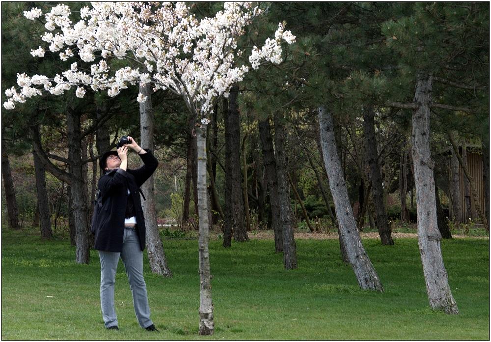 ... Kirschblütenknipser ...