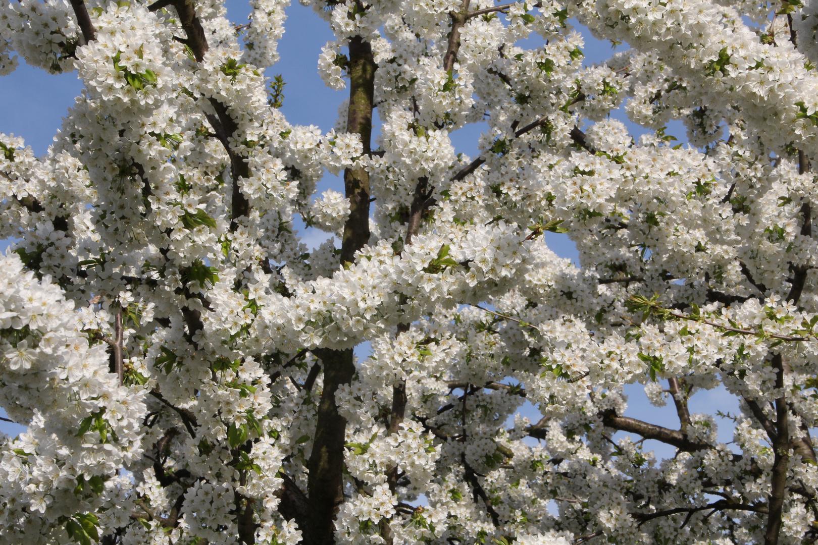 Kirschblütenmeer