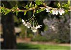 Kirschblütenschaukel