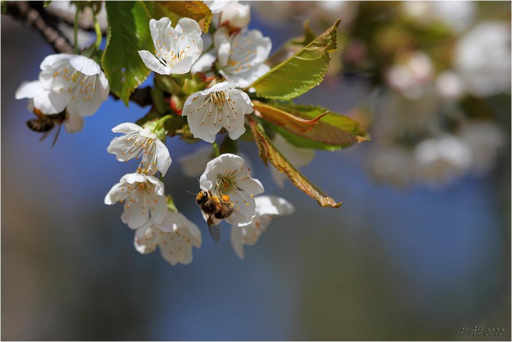 Kirschblütentraum mit Bienchen