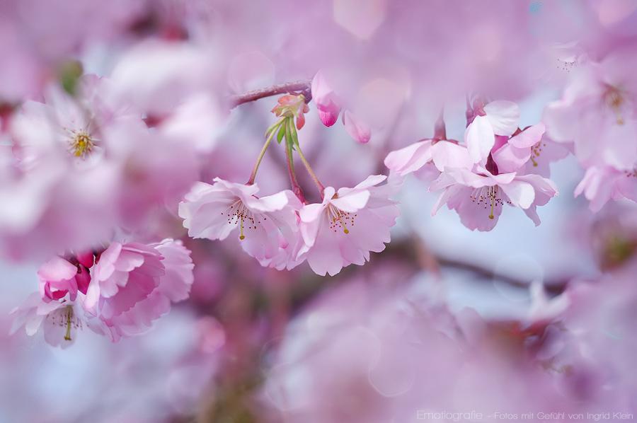 Kirschblütenwolken