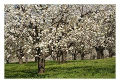 Kirschblütenzeit...