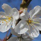 Kirschenblüten, Prunus avium