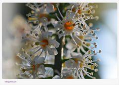 Kirschlobeerblüten